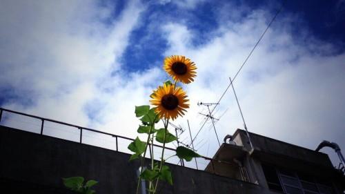 暑いねー!小学校前のひまわりも汗かいとったわ~(笑)  @94katsu_chitose